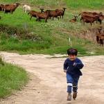 Les chèvres de la ferme voisine