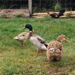 Les canes et canards